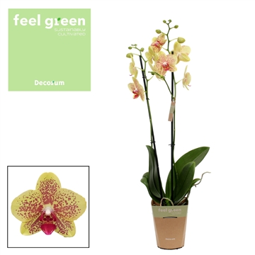 Phalaenopsis feel green 2-Tak Pulsation 60cm R2-3