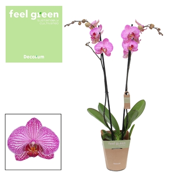 Phalaenopsis feel green 2-Tak Flirtation 60cm R2-3