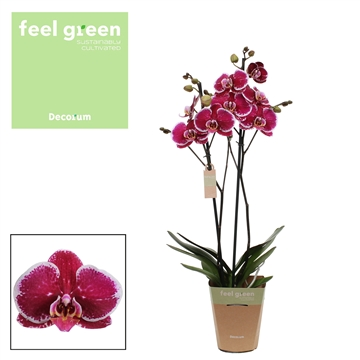 Phalaenopsis feel green 2-Tak Devotion 60cm R2-3