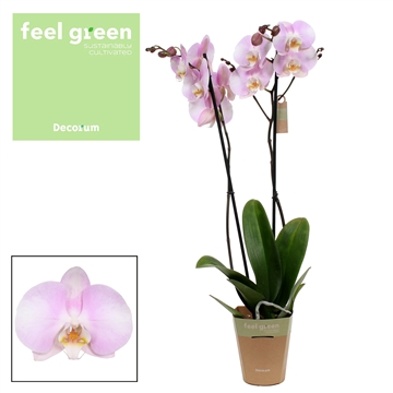 Phalaenopsis feel green 2-Tak Silkion 60cm R2-3