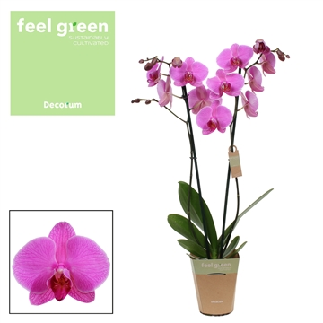 Phalaenopsis feel green 2-Tak prediction 65cm R2-3