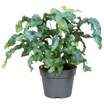 Varen Phlebodium Aureum