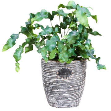 Varen Phlebodium Aureum Robuuste Pot