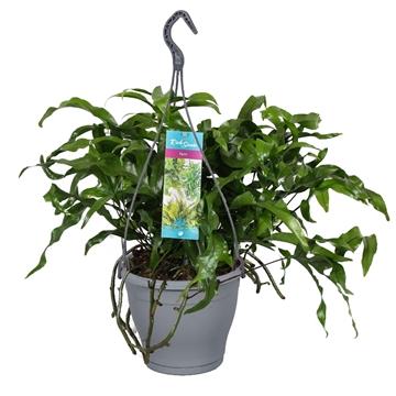 "Hangpot Microsorum Diversifolium ""kangaroo Fern"""