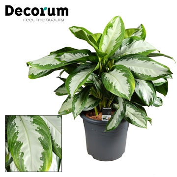 Aglaonema Diamond Bay in deco pot (Decorum)
