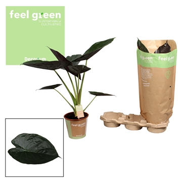 Alocasia Wentii  Feel Green
