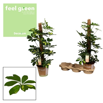 Schefflera Gold Capella 80mos Feel Green