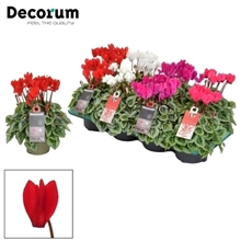 Cyclamen SS Picasso Selections Decorum