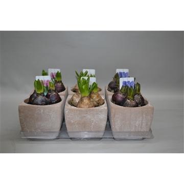 Hyacint in kubusbloempot (bruin-beige)