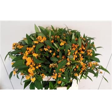 Euphorbia vertakt Sunstream