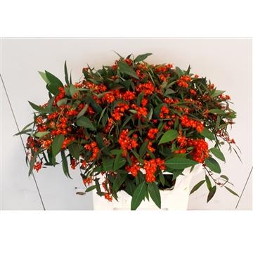 Euphorbia vertakt Red Surprise