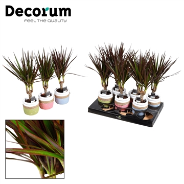 Dracaena Magenta stam 7 cm in pot Joy (Decorum)