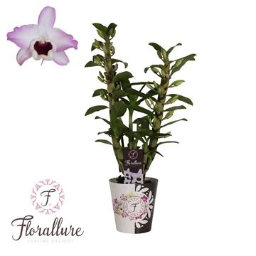 Dendrobium Nobile Dark Eye 2 stam  12 tros Florallure