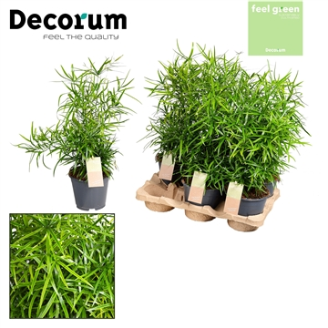 Asparagus Falcatus Feel Green (Decorum)