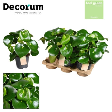 Peperomia Raindrop Feel Green (Decorum)