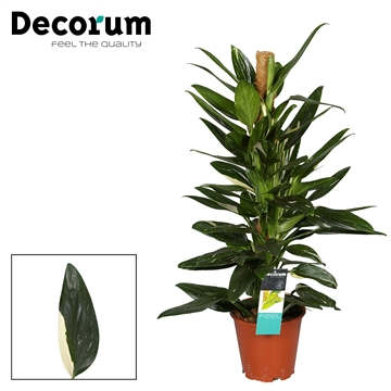 Philodendron Cobra 80mos Decorum Special