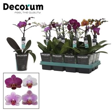 Multi Gemengd 5 kleur - 1 Tak 9+ bloem Mountain9cm