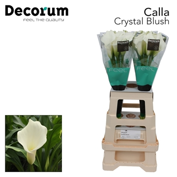 Zantedeschia Crystal Blush