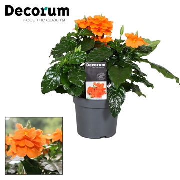 Crossandra Fortuna 13 Cm + sticker