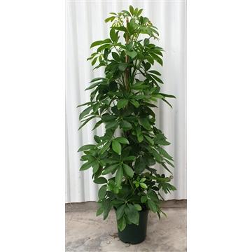 """Schefflera arboricola 'groen"""""""