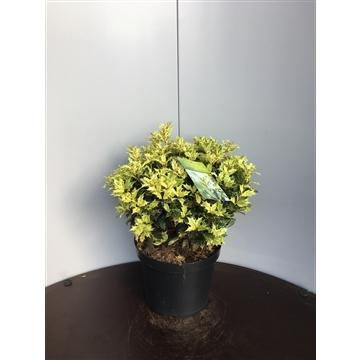 Osmanthus heterophyllus 'Goshiki' bol/struik 30/40