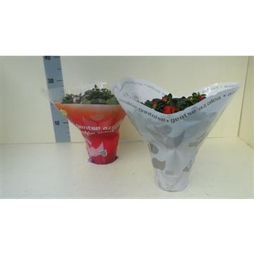azalea indica hoes 30 cm