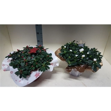 azalea indica rondel kerst 35 cm