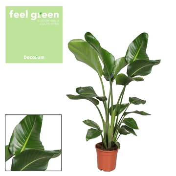 Strelitzia Nicolai Feel Green
