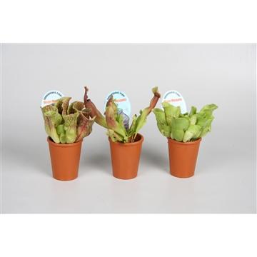 Sarracenia mix in terracotta potje (waterdicht)