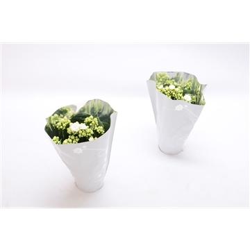 Kalanchoe blossfeldiana gevuld Perfecta White P9 premium hoes