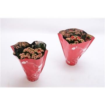 Kalanchoe blossfeldiana gevuld Perfecta Red P9 premium hoes