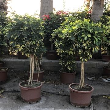 Schefflera arboricola 'Dalton' COPA