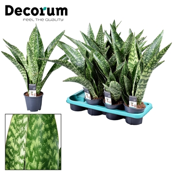 Sansevieria Aubrytniana Dragon (Decorum)