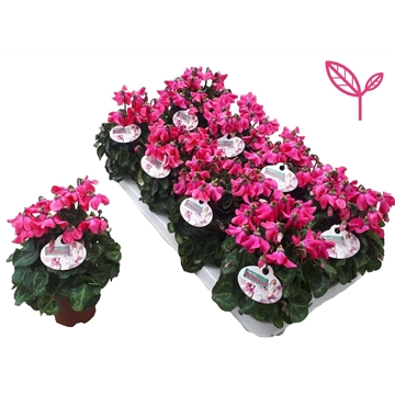 Cyclamen-Special- Petticoat Pink