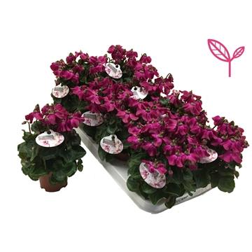 Cyclamen-Special- Petticoat Purple