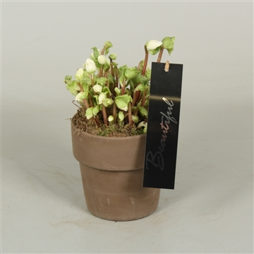 Helleborus Verboom Beauty 13cm stenen pot