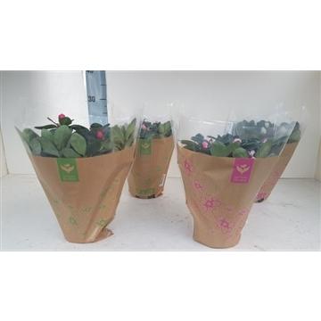azalea indica krafhoes 25 cm