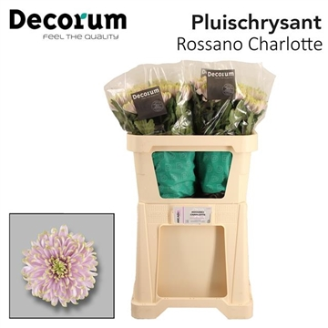 CHR G ROSS CHARLOTTE P100Decorum