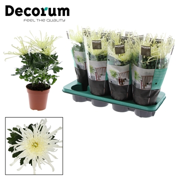 Chrysant Chrysanne® 'Fireworks Cre' Russia Decorum