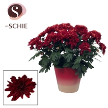 Artikel #382260 (CT009: Chrysanne Grandezza Red POTCOVER)