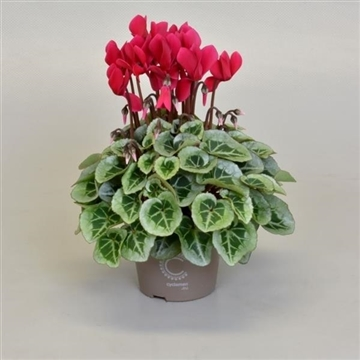 Cyclamen SS Picasso WijnRood