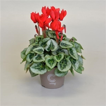 Cyclamen SS Picasso Rood