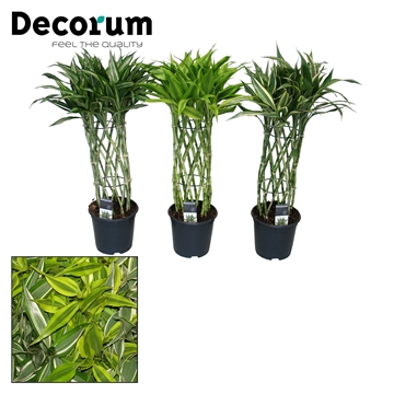 Dracaena Sandriana mix kokers