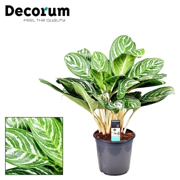 Aglaonema Green Sun (Decorum)