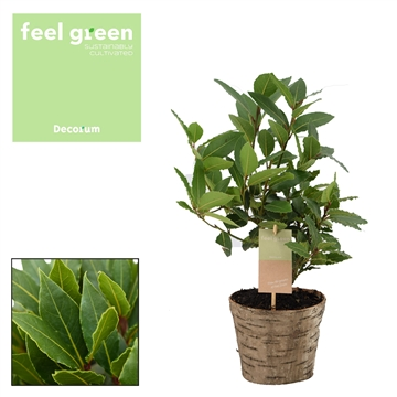 Laurus nobilis Struik (stek) Feel Green