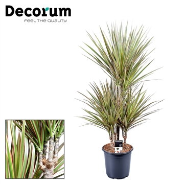 Dracaena Bicolor Carrousel 45-15-15-15 (Decorum)