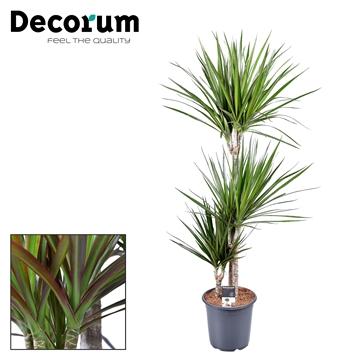 Drac Marginata 60-30-15 cm stam (Decorum)