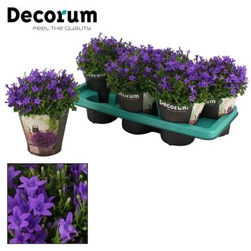 Campanula Ambella Intense Purple 14 cm DECORUM