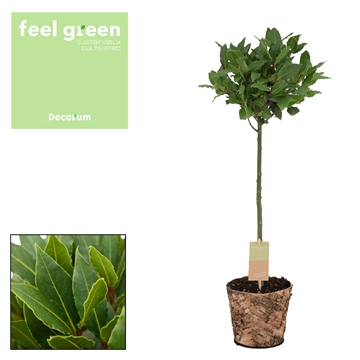 Bol op stam Laurus nobilis Feel Green