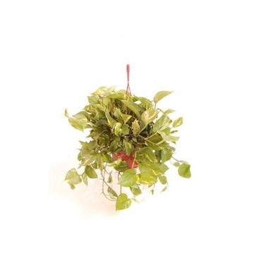 Epipremnum pinnatum hang